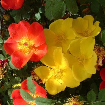 Sports: le mutazioni genetiche delle Rose