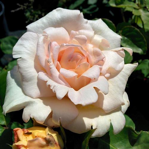 Sports: le mutazioni genetiche delle Rose | MondoRose e Fiori