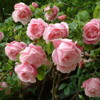 Rose a Radice Nuda 2019/2020