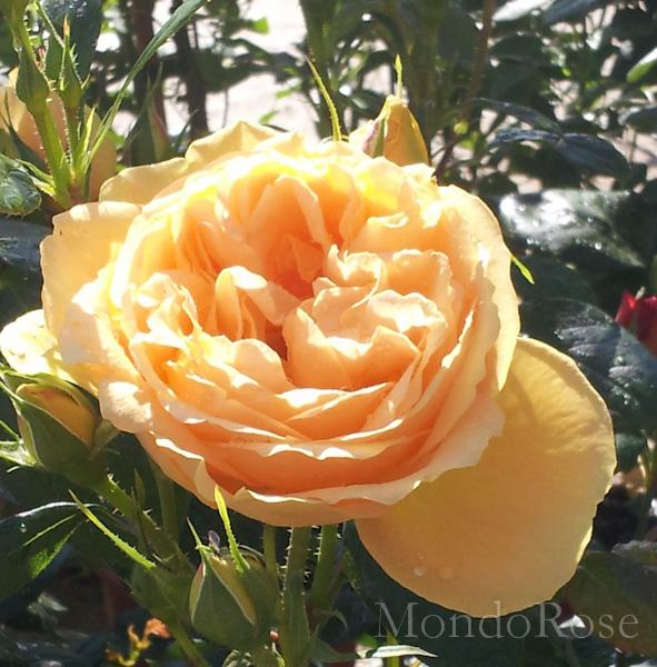 Bernstein Rose ®