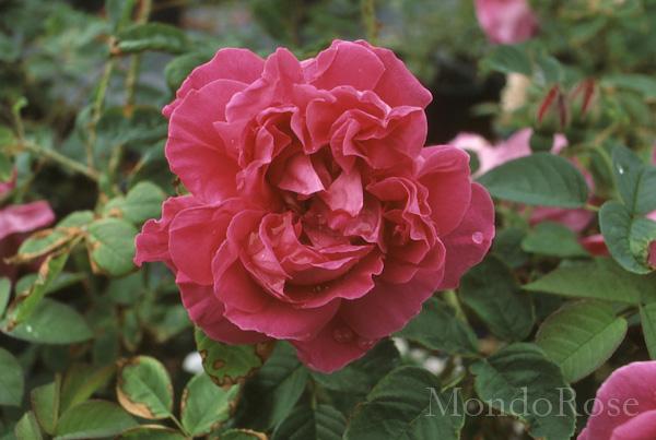 Rose a Parfum de l'Hay