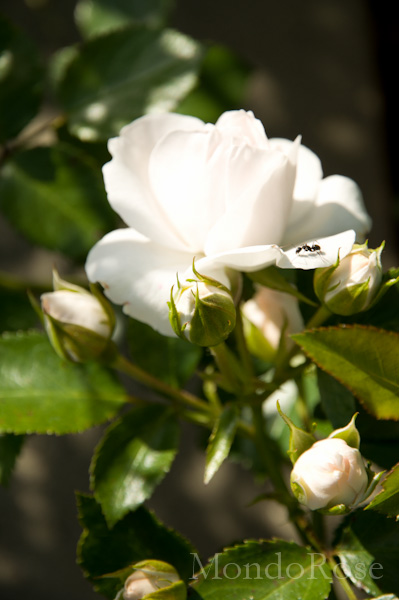 Aspirin Rose ®