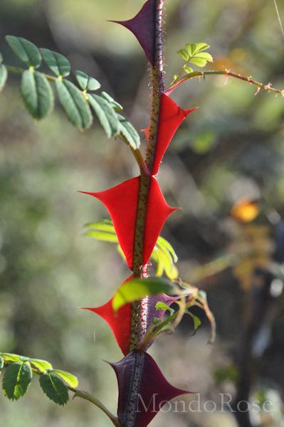 Omoiensis Crisocarpa