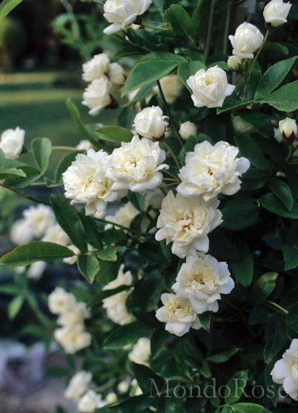 Banksiae Alba