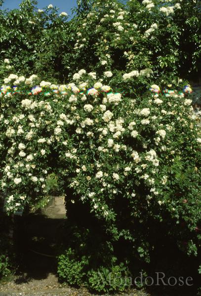 Banksiae Purezza