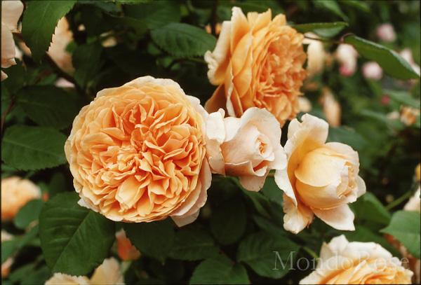 Crown Princess Margaretha ®
