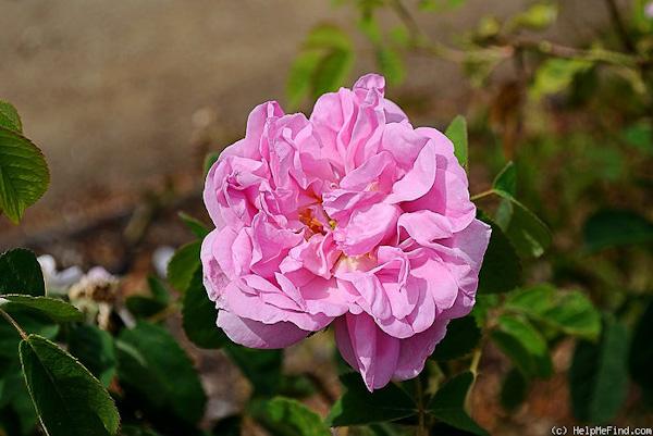 Rose de Puteaux