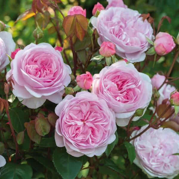Olivia Rose Austin ®