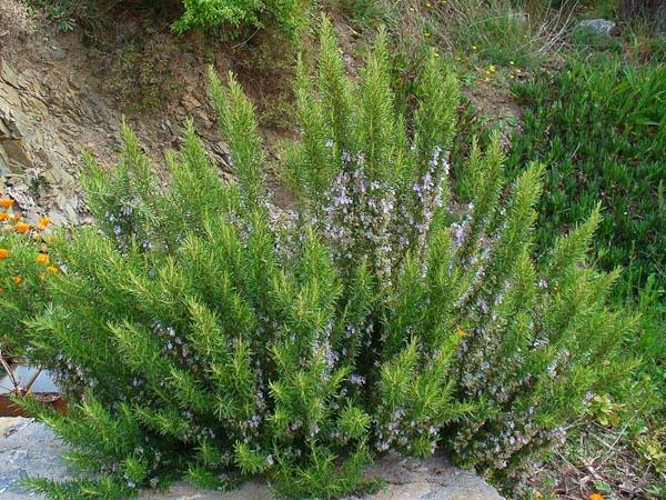 Rosmarinus officinalis