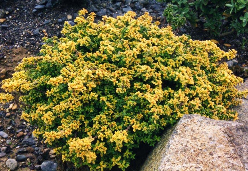 Thymus citrodorus aureus