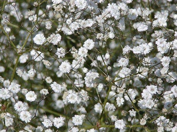 "Gypsophila paniculata ""Bristol Fairy"""