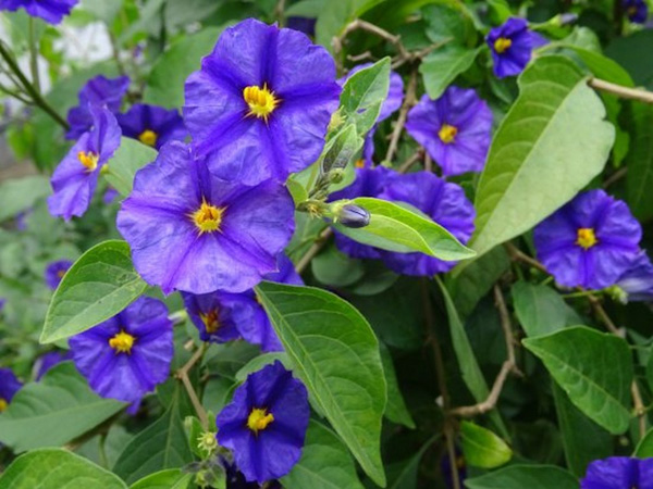 "Solanum rantonetti ""Royal Rob"""