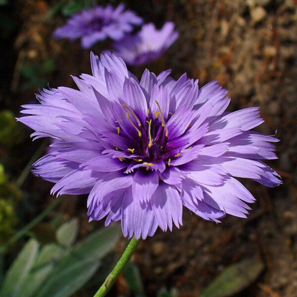 Catananche cerulea