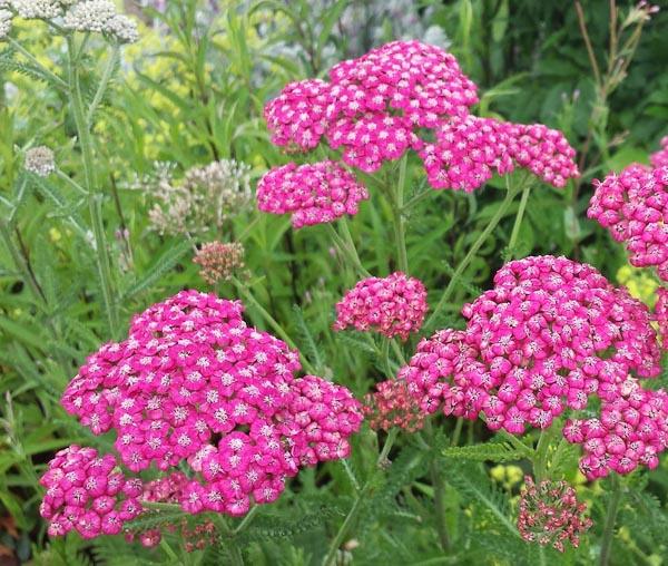 """Achillea millefolium """"Cerise Queen"""""""