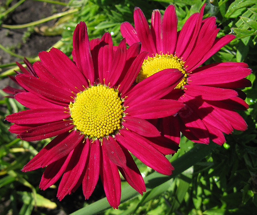 "Chrysanthemum coccineum ""Robinson Red"""