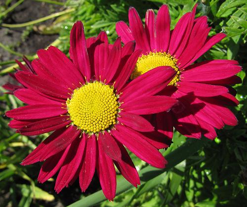 "Chrysanthemum coccineum ""Robinson Red"""
