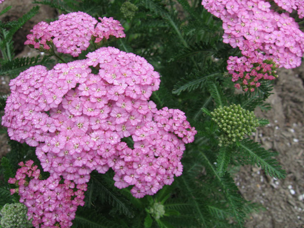 "Achillea ""Apple Blossom"""