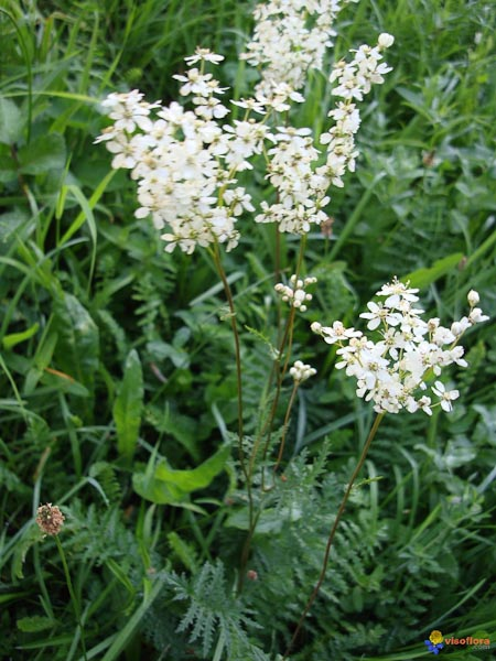 "Filipendula vulgaris ""Moench"""
