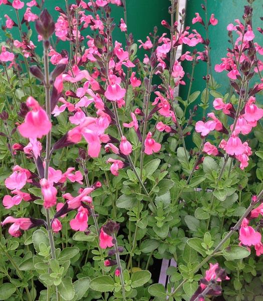 """Salvia jamensis """"La Siesta"""""""