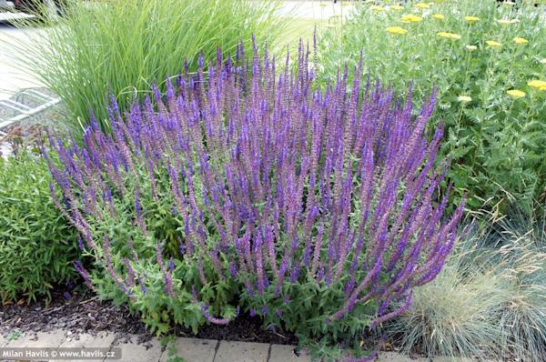 """Salvia nemorosa """"Blaukonigin"""""""
