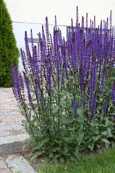 "Salvia x superba ""Caradonna"""
