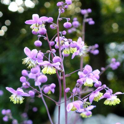 Thalyctrum delavayi splendens