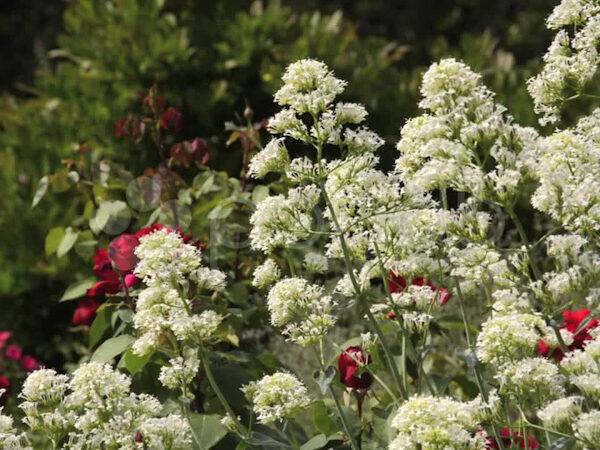 Centranthus Ruber Albus