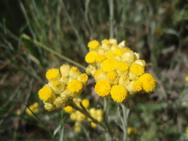 Helichrysum orientalis