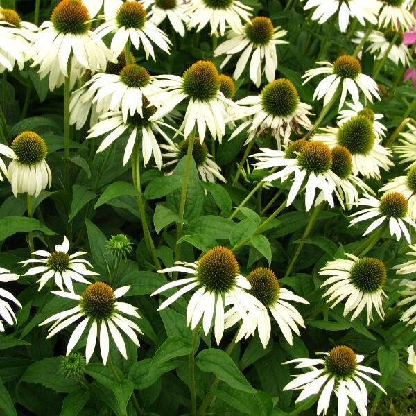 """Echinacea """"Sunseeckers White"""""""