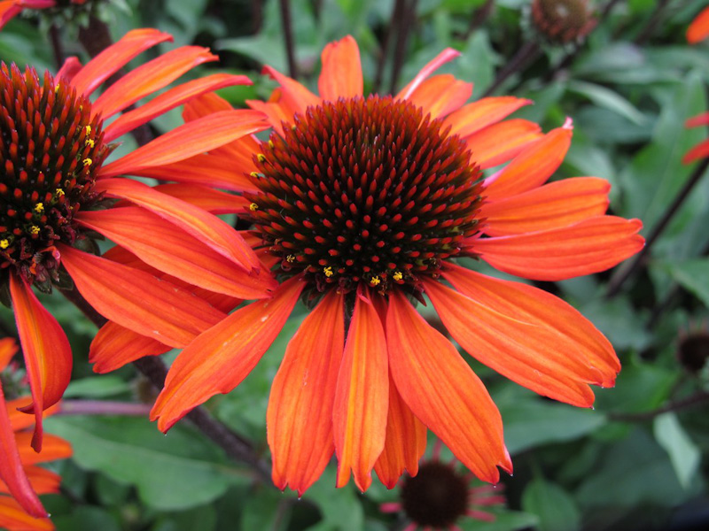 "Echinacea ""Sunseekers Orange"""