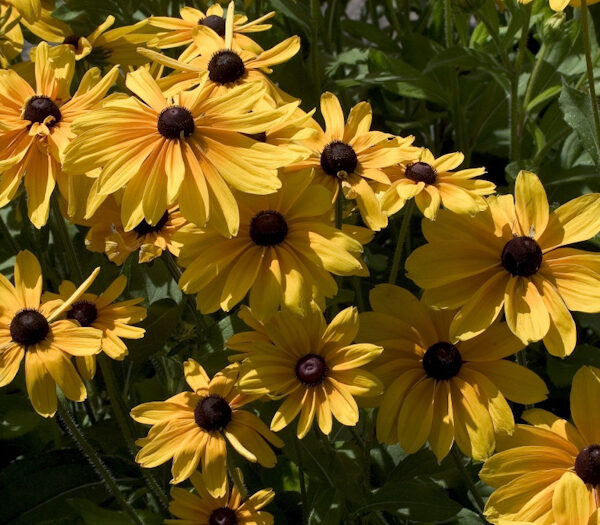 "Rudbeckia hirta ""Indian Summer"""