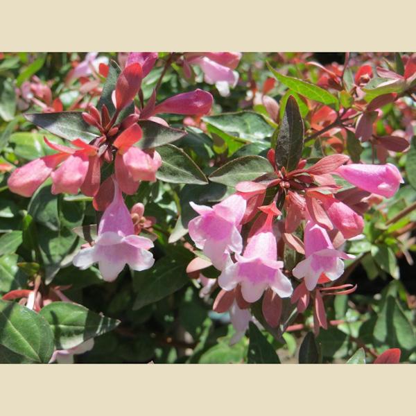 """Abelia grandiflora """"Edward Goucher"""""""