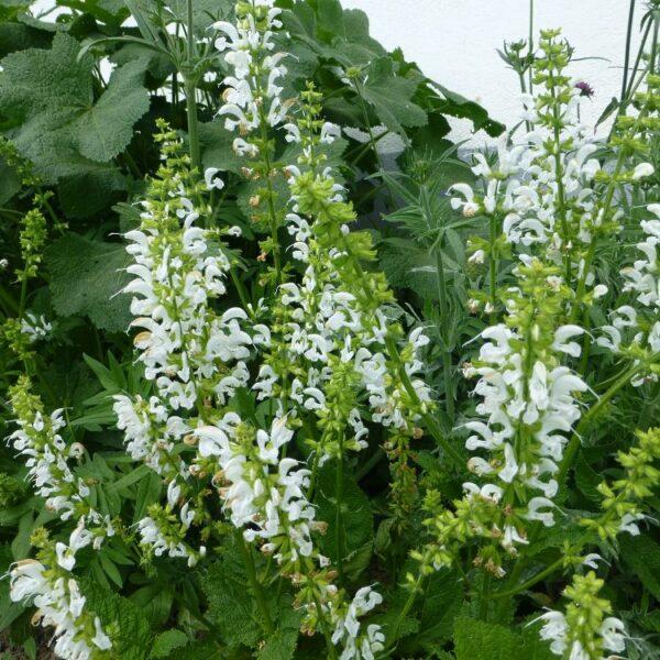 "Salvia pratensis ""Swan Lake"""
