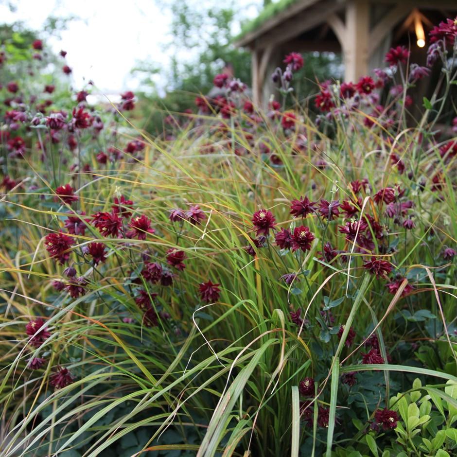 """Aquilegia vulgaris """"Ruby Port"""""""