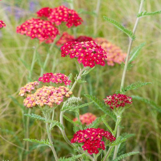 """Achillea millefolium """"Red Velvet"""""""