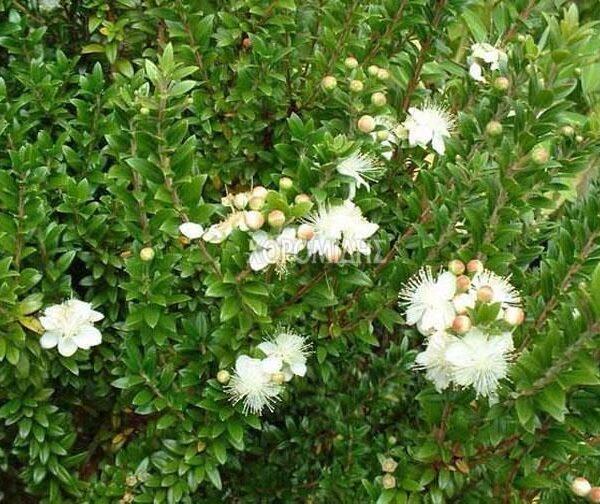 """Myrtus communis """"tarentina"""""""