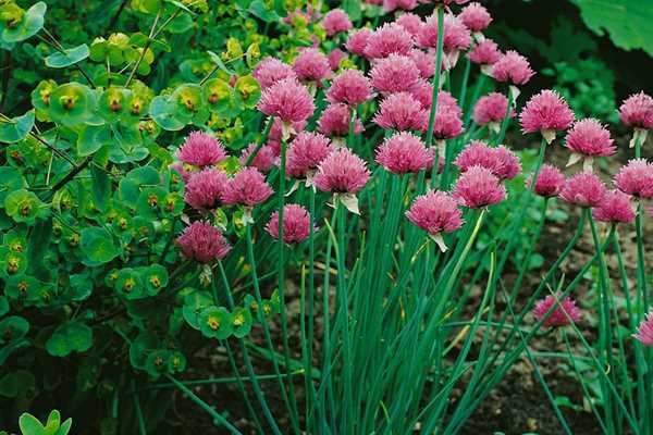"Allium schoenoprasum ""Rising star"""
