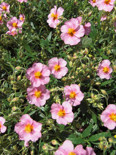 "Helianthemum ""Lawrenson's Pink"""