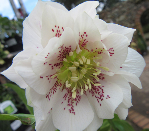 "Helleborus orientalis ""Double Ellen White"""