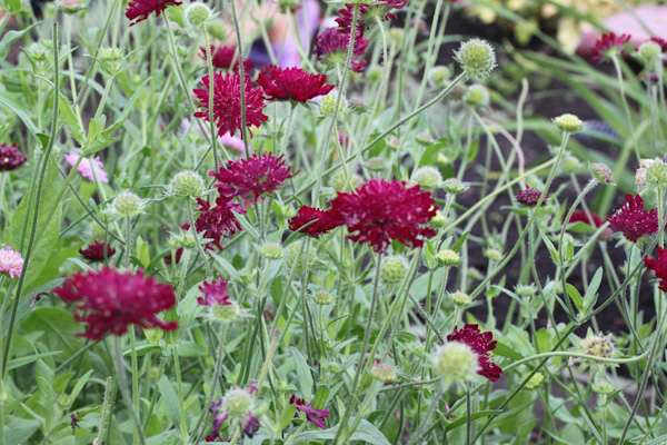 "Knautia macedonica""Red Knight"""