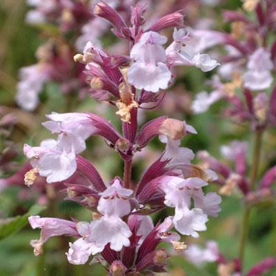 "Nepeta grandiflora ""Dawn to Dusk"""