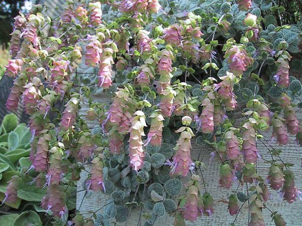 "Origanum rotundifolium ""Kent beauty"""