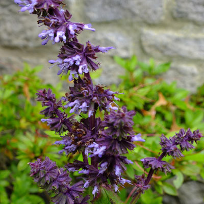 "Salvia verticillata"" Hannay's Blue"""