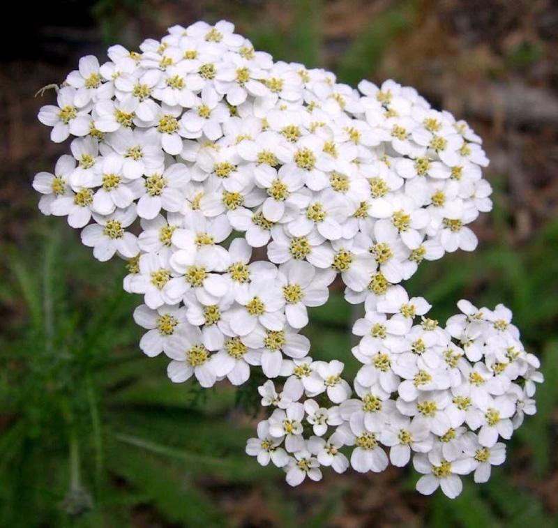 Achillea Millefolium Proa