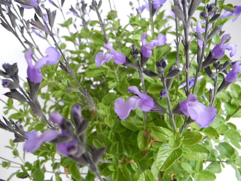 "Salvia microphylla ""So cool so blu"""