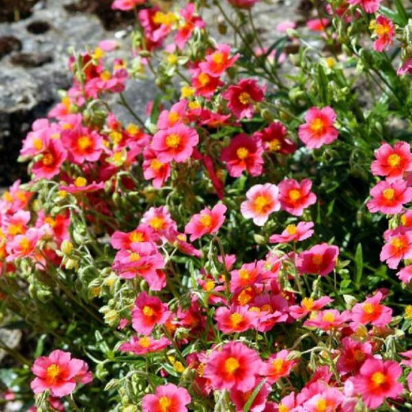 "Helianthemum ""Ben Ledi"""