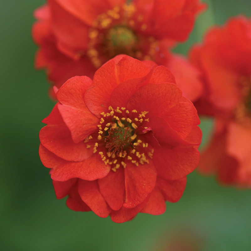 "Geum Chiloense ""Blazing sunset"""