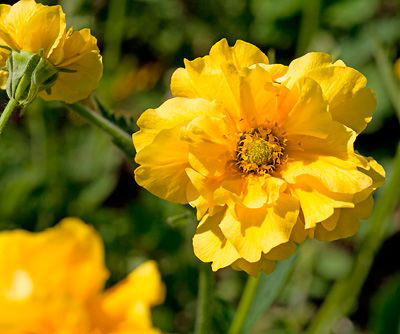 "Geum Chiloense ""Sunrise"""