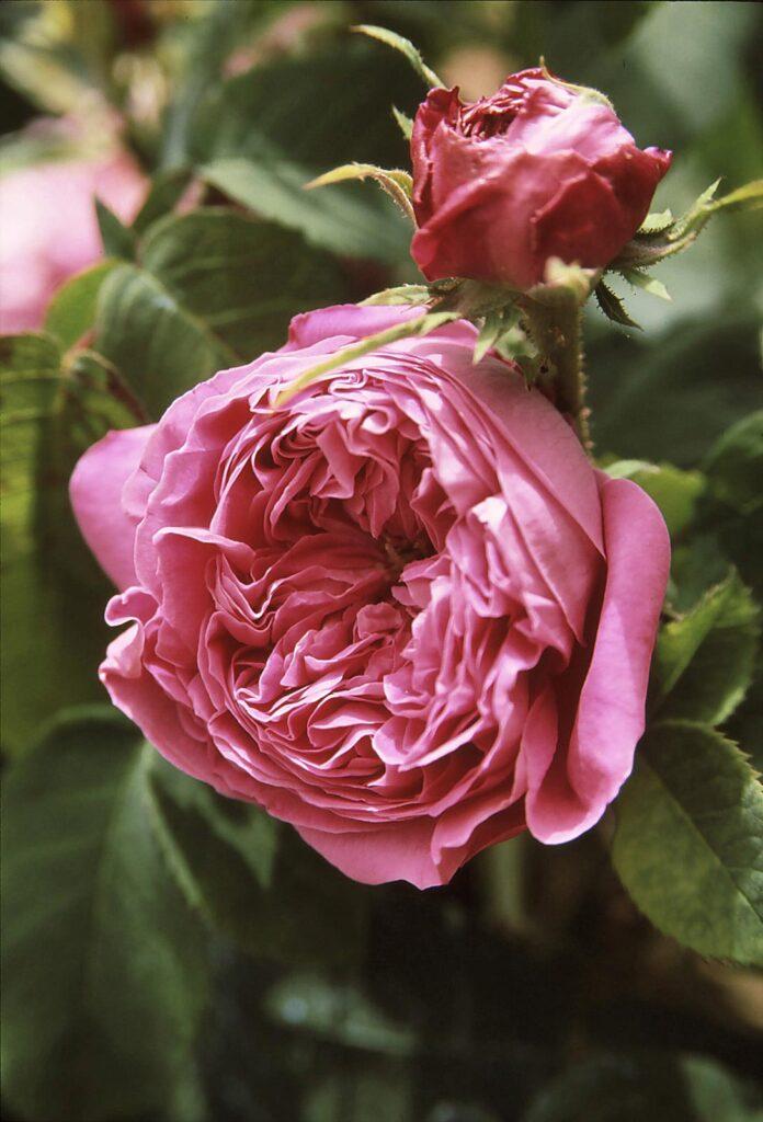 storia delle rose antiche