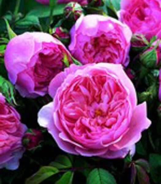 The Alnwick Rose ®